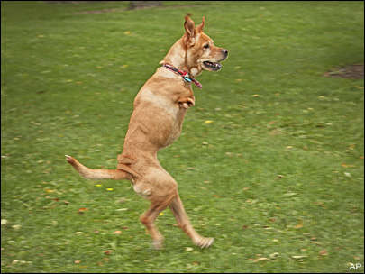 Собака ходит прямо